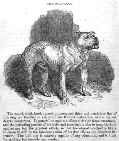 english bulldog 100 years ago