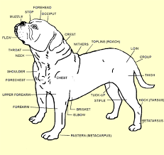 bulldogge-anatomy